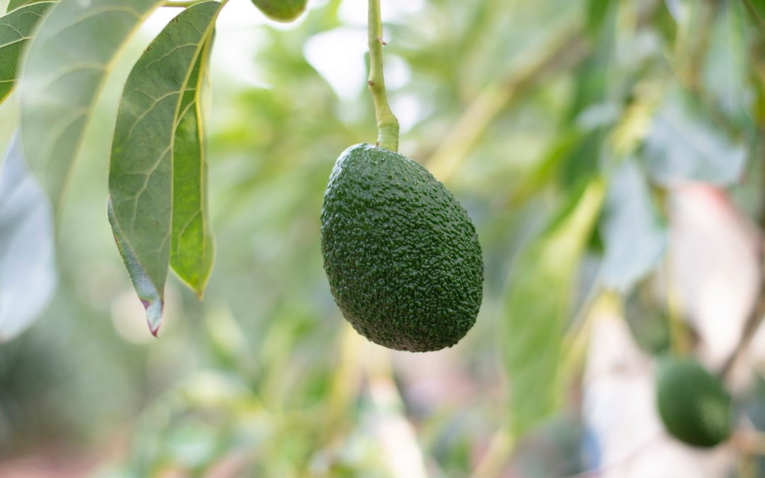 Avocado made in sud, maturo al punto giusto