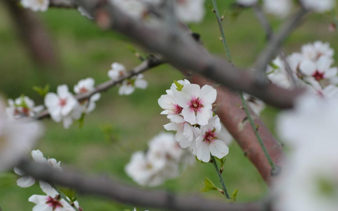 Il mandorlo in fiore